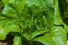 Bok Choy on the farm Royalty Free Stock Photos