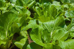 Bok Choy on the farm Stock Image