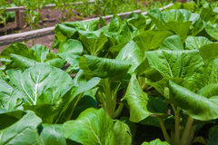Bok Choy on the farm Royalty Free Stock Image