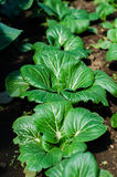 Bok Choy Royalty Free Stock Photo