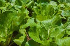 Bok Choy na gospodarstwie rolnym Obraz Stock