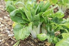 Bok Choy in organic garden. Stock Photography