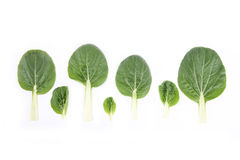 Bok choy and tree Royalty Free Stock Image