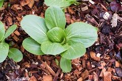 Bok choy växt från över Royaltyfri Foto