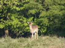 Bok in het bos stock fotografie