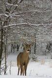 Bok in sneeuw Royalty-vrije Stock Afbeeldingen