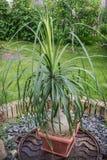 Bokarneya in a small pot in the garden. Bokarneya with lush foliage in a pot in the garden Stock Photos