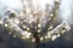 云杉的树在与抽象迷离boke的冬天在阳光下 免版税库存图片
