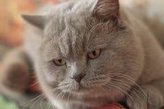 Bokeh портрета крупного плана красивого кота британцев Shorthair мужское Стоковое Изображение