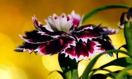 Bokeh av den enkla Dianthusblomman Royaltyfri Foto