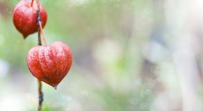 Bokeh background - Physalis (Chinese Lantern) Stock Photos