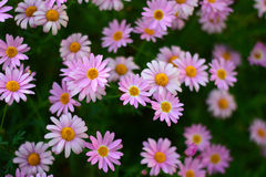 Bokeh background of pink colored Daisy flowers Royalty Free Stock Photo