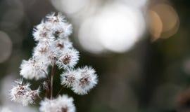 Bokeh bonito da paisagem macia selvagem das flores As sementes brancas abstratas do voo da planta no delicado borraram o fundo, s Fotos de Stock
