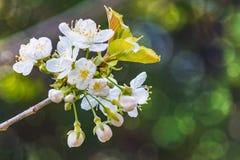 Bokeh borroso floreciente del fondo del árbol Fotos de archivo