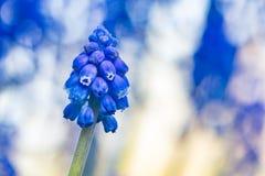 Bokeh brilhante do jacinto Imagens de Stock