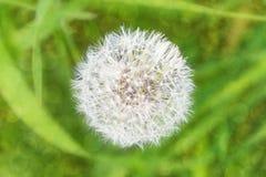 Bokeh d'herbe de fond brouillé par fleur de pissenlit photographie stock
