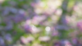 Bokeh de Tabebuia cor-de-rosa Foto de Stock Royalty Free
