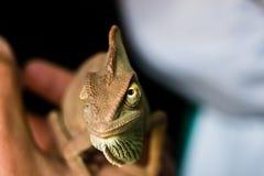 Bokeh del camaleonte Fotografie Stock Libere da Diritti