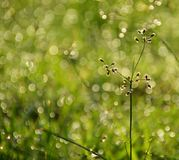 Bokeh from drops of dew in the morning. royalty free stock image