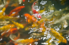 Bokeh of fancy koi fish pond. Royalty Free Stock Photography