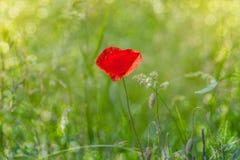 Bokeh floral d'herbe de pavot de fond Image stock