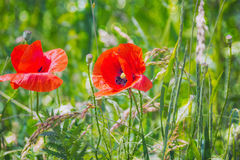 Bokeh floral d'herbe de pavots de fond Images stock