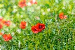 Bokeh floral d'herbe de pavots de fond Photos libres de droits