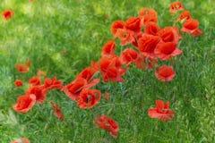 Bokeh floral d'herbe de pavots de fond Photo libre de droits