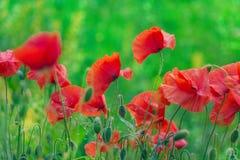 Bokeh floral d'herbe de pavots de fond Photos stock