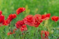 Bokeh floral d'herbe de pavots de fond Photo stock