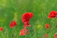 Bokeh floral d'herbe de pavots de fond Images libres de droits