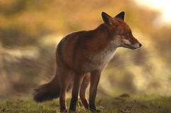 Bokeh Fox Стоковая Фотография RF
