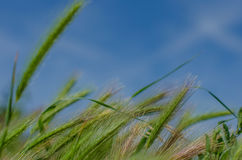 Bokeh groene oren op de hemelachtergrond Royalty-vrije Stock Foto's