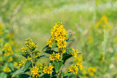 Bokeh jaune de wildflowers Photo stock