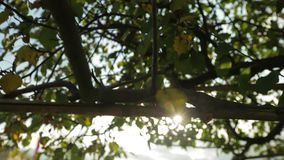 Bokeh Light through the Leaves. Bokeh light from the sun through the leaves on a warm summer day stock video footage