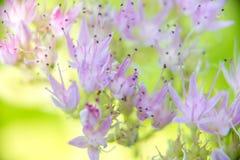 Bokeh muito macio spectabile do macro de Sedum Fotos de Stock Royalty Free