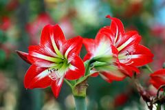 Bokeh Photo of White-and-red Flowers Stock Photography