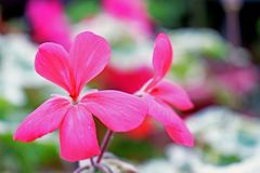 A bokeh photogragh of some delicate pink flowers growing in the garden amongst the green leaves. A bokeh photogragh of some beautiful pink delicate pink flowers royalty free stock image