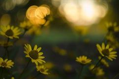 Bokeh redondo, por do sol - flores amarelas da família de áster do girassol, Chrysopsis conhecido como ásteres dourados ou villos fotos de stock royalty free