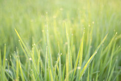 Bokeh of the rice field Royalty Free Stock Photo