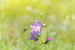 Bokeh rosa-porpora dell'ape dei Wildflowers Fotografia Stock Libera da Diritti