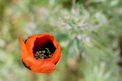 Bokeh rosso del fiore della molla del papavero Fotografie Stock