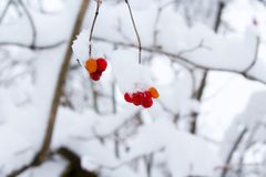 Bokeh Shot of Red Fruit With Snow Royalty Free Stock Photos