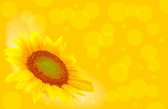 Bokeh sunflower. On yellow background royalty free stock photo