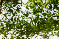 Bokeh tree. Defocused bokeh background of garden with blooming trees in sunny day Stock Image