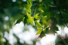 Bokeh vert de feuillage luxuriant de feuille de feuilles d'érable Photographie stock libre de droits