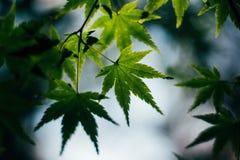 Bokeh vert de feuillage luxuriant de feuille de feuilles d'érable Photographie stock