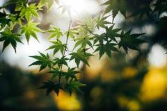 Bokeh vert de feuillage luxuriant de feuille de feuilles d'érable Images stock