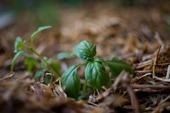 Very small basil plant growing out of the straw in selective focus. Bokehlicious photo of basil plant in its infancy stock image