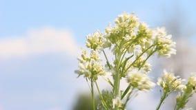 Bokehvideo ветра и неба цветка красоты видеоматериал